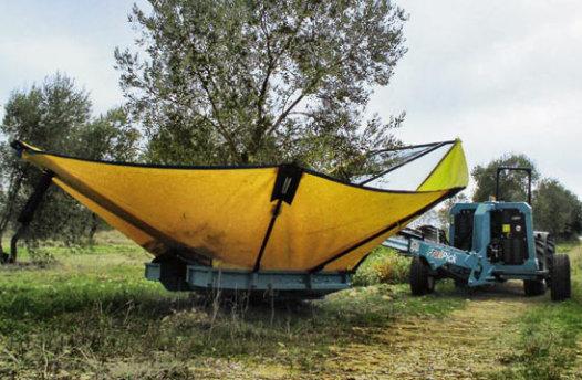 Raccolta olive con macchina scuotitrice a grosseto spedo fruipick